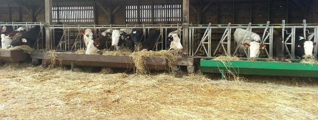 vaches laitières nourries aux céréales et aux herbes sans glyphosate