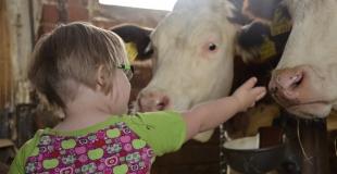 Le contact avec les vaches protègerait les enfants de l'asthme allergique