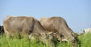 Quand les vaches mangent de l'herbe...