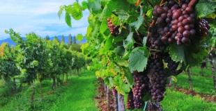 Balade dans les vignes et repas à la ferme le 10 septembre 2006