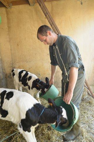 Veaux qui boivent le lait
