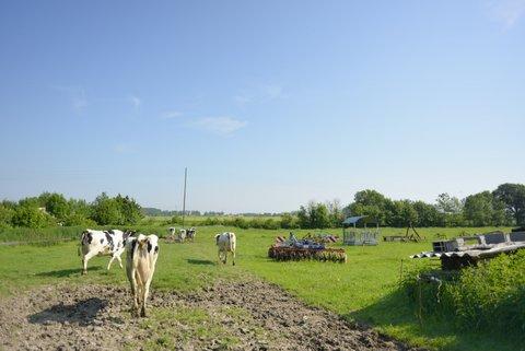 Vaches partant dans la pâture