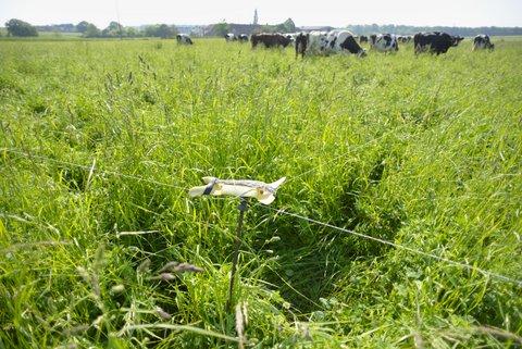 Vaches qui mangent de l'herbe bio