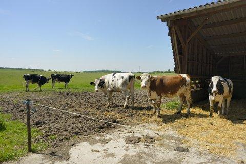 Vaches laitières en liberté